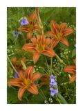 Orange Daylily with Virginia Spiderwort North America Poster by Tim Fitzharris