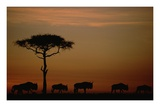 Blue Wildebeest herd migrating at sunset, Kenya Prints by Tim Fitzharris