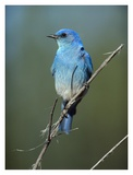 Mountain Bluebird perching on twig, North America Prints by Tim Fitzharris