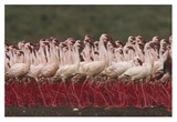 Lesser Flamingos in a mass courtship display, Kenya Posters by Tim Fitzharris