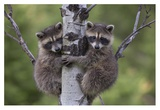 Raccoon two babies climbing tree, North America Reprodukcje autor Tim Fitzharris