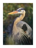 Great Blue Heron portrait, North America Posters by Tim Fitzharris