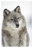 Timber Wolf portrait with snow on muzzle, Montana Posters av Tim Fitzharris