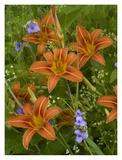 Orange Daylily with Virginia Spiderwort North America Prints by Tim Fitzharris