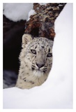 Snow Leopard adult, looking out from behind a snowbank Posters by Tim Fitzharris