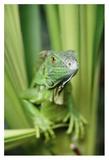 Green Iguana portrait, Honduras, Central America Kunst von Tim Fitzharris