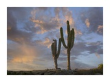 Saguaro cacti, Cabo San Lucas, Mexico Posters by Tim Fitzharris