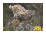 Bobcat mother and kitten in snowfall, North America Prints by Tim Fitzharris