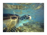 Green Sea Turtle, Balicasag Island, Philippines Posters by Tim Fitzharris