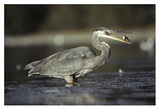 Great Blue Heron with captured fish, North America Prints by Tim Fitzharris