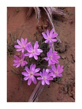 Desert Chicory close up of bloom, North America Prints by Tim Fitzharris