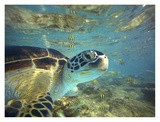 Green Sea Turtle, Balicasag Island, Philippines Prints by Tim Fitzharris