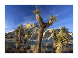 Tim Fitzharris - Joshua Trees in Red Rock Canyon State Park, California Umění