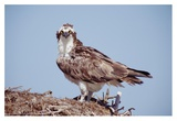 Osprey adult perching on nest, Baja California, Mexico Prints by Tim Fitzharris