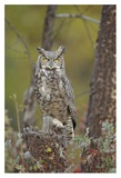 Great Horned Owl adult perching in tree, North America Prints by Tim Fitzharris