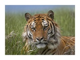 Siberian Tiger portrait, endangered, native to Siberia Poster by Tim Fitzharris