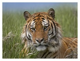 Siberian Tiger portrait, endangered, native to Siberia Prints by Tim Fitzharris
