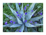 Desert Bluebell and Agave North America Posters by Tim Fitzharris