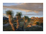 Yucca and Organ Mountains near Las Cruces, New Mexico Prints by Tim Fitzharris