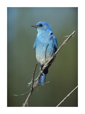 Mountain Bluebird perching on twig, North America Poster af Tim Fitzharris