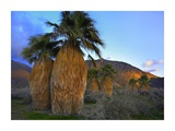Real Fan Palm Anza-Borrego Desert, California Posters af Tim Fitzharris