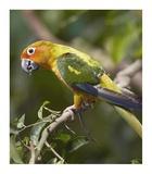 Sun Parakeet, native to South America Poster par Tim Fitzharris