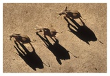 African Elephant trio aerial with shadows, Africa Poster by Tim Fitzharris