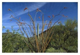 Ocotillo Saguaro Greasewood and Palo Verde Arizona Prints by Tim Fitzharris