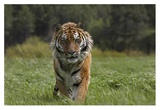 Siberian Tiger walking, endangered, native to Siberia Reprodukcje autor Tim Fitzharris