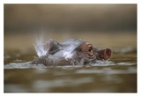 Hippopotamus breathing at water surface, Kenya Art by Tim Fitzharris