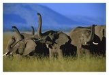 African Elephant herd sniffing the air, Kenya Posters by Tim Fitzharris