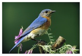 Eastern Bluebird male portrait, Ontario, Canada Affiche par Tim Fitzharris