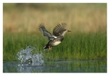 Gadwall duck taking flight from water, New Mexico Posters by Tim Fitzharris
