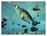 Green Sea Turtle, Balicasag Island, Philippines Prints by Tim Fitzharris