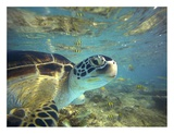 Green Sea Turtle, Balicasag Island, Philippines Posters af Tim Fitzharris