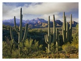 Saguaro cacti and Santa Catalina Mountains, Arizona Prints by Tim Fitzharris
