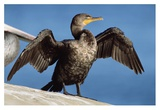 Double-crested Cormorant drying wings, California Affiches par Tim Fitzharris