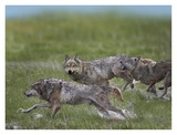 Gray Wolf trio running through water, North America Art by Tim Fitzharris