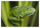 Green Iguana amid green leaves, Roatan Island, Honduras Prints by Tim Fitzharris