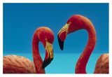 Greater Flamingo courting pair, Caribbean species Poster by Tim Fitzharris