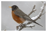 American Robin perching in snow storm, North America Arte di Tim Fitzharris