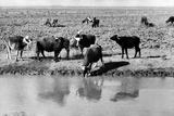 Buffalos Along the Banks of a River Photographic Print by Mario de Biasi