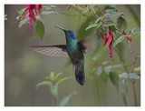 Green Violet-ear hummingbird foraging, Costa Rica Prints by Tim Fitzharris