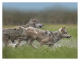 Gray Wolf pair running through water, North America Art by Tim Fitzharris