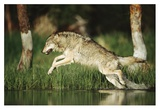 Timber Wolf running through shallow river, Montana Art by Tim Fitzharris