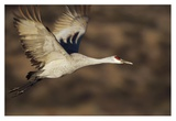Sandhill Crane flying, Bosque Del Apache, New Mexico Art by Tim Fitzharris