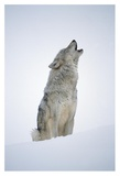 Timber Wolf portrait, howling in snow, North America Plakater av Tim Fitzharris
