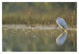 Great Egret backlit in marsh at sunset, North America Posters by Tim Fitzharris