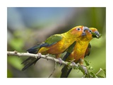 Sun Parakeet pair feeding on leaves, native to South America Print by Tim Fitzharris