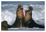 Northern Elephant Seal males fighting, California Coast Prints by Tim Fitzharris
